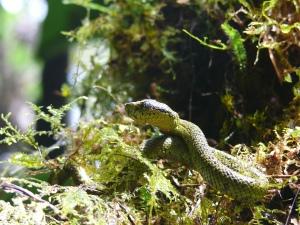 Pit Viper   (Venomous) Bothriechis nigroviridis
