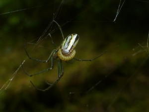 Spider with larvae attached