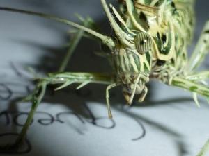 Lichen Katydid, Markia hystrix