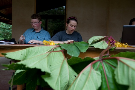 Large leaves of the Gunnera plant. Photo courtesy Clinton Lewis/WKU