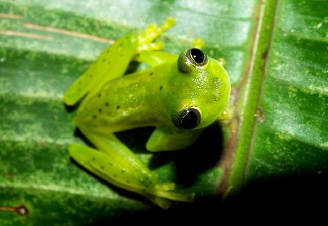 Glass frog - Peering up at the light wondering what all the excitement is about.