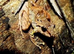 Eleutherodactylus crassidigitus