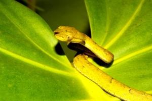 Juvenile Pit Viper