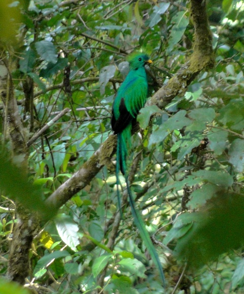 Quetzal on the main trail