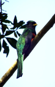 Male Collared Trogon
