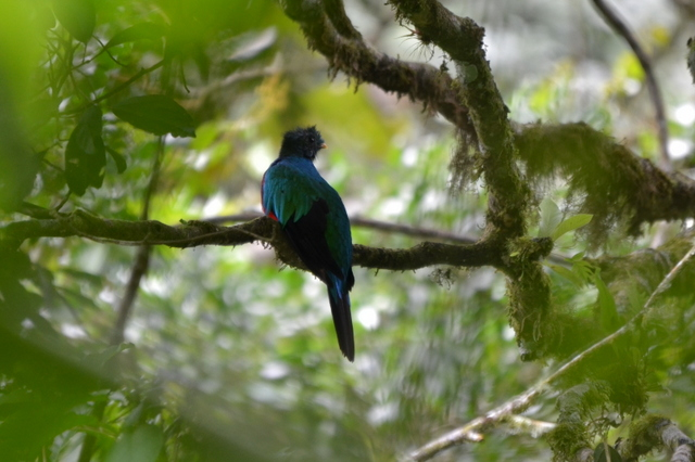 Respledent quetzal in July