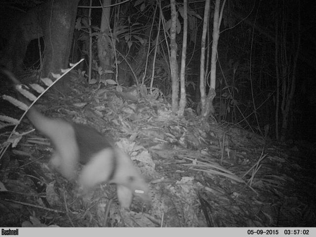 Collared Anteater - Tamandua