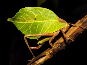 Leaf mimicking insect