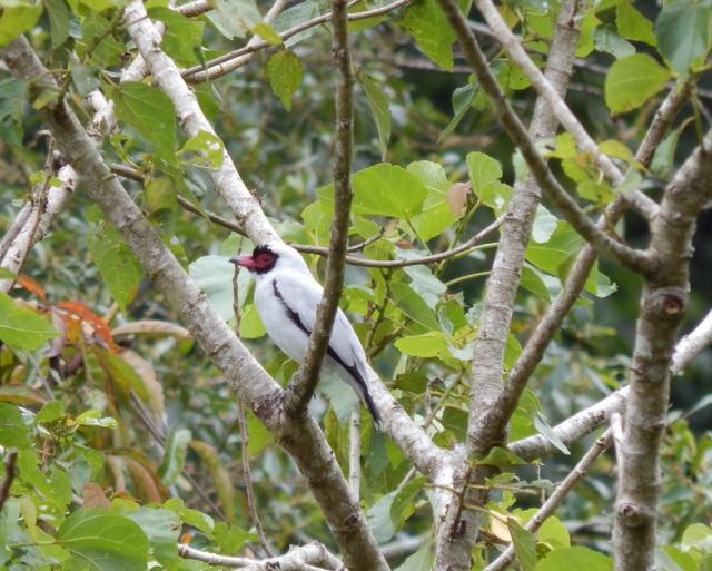 Masked Tityra (male)