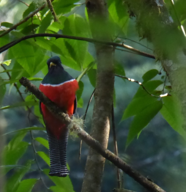 Male Trogon