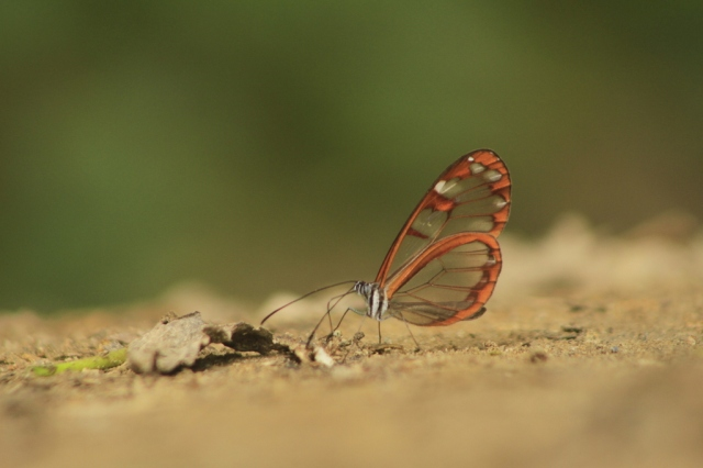 Glass-wing butterfly Photo by James Gilpin