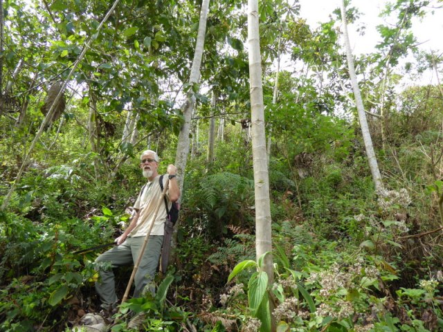 Pioneer species - Alder and Cedro in Stephan's plots 2015