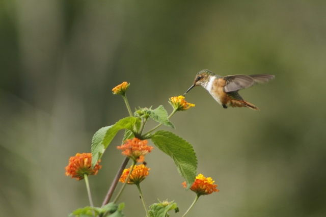 Scintillant-hummingbird Photo by James Gilpin