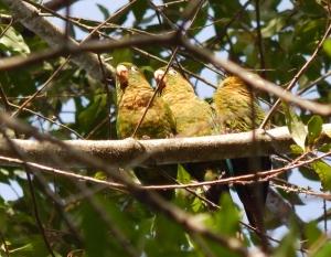 Sulphur-winged Parakeet (3)