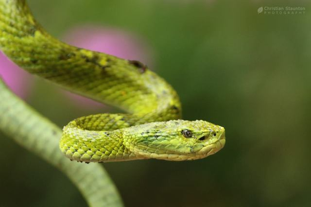 Side-Striped Palm Pit Viper (Bothriechis lateralis)
