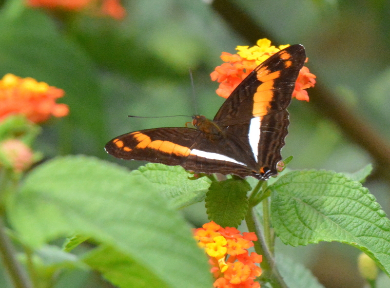 Butterflies Of Costa Rica And Their Natural History
